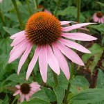 Echinacea best cold and flu preventative